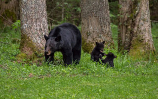 Mother bear and cubs.