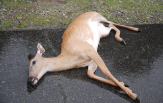 What Does A Vegetarian Do With Roadkill?
