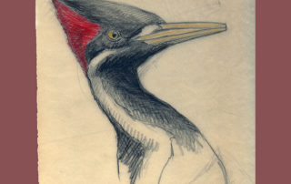 Don Richard Eckelberry, Ivory-billed Woodpecker Study, undated, pencil and colored pencil on paper.