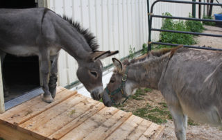 Ferguson (left) greets his best friend Grayson (right). Rescuers at Holy Land Donkey Haven constructed a special ramp for Ferguson to maneuver independently while recovering from surgery. (Jenny Peek/WPR)