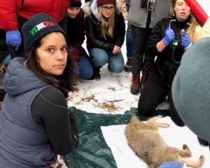 PhD student Sara Garza and UW-Madison Veterinary students examining a coyote. (photo by Steve Tomasini)