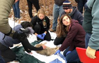 UW Madison veterinary students examining a coyote as part of the Urban Canid Project. (Photo by Steve Tomasini)
