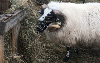 Fergus, writer Chris Hardie's Scottish Blackface ram. (Photo courtesy of Chris Hardie)