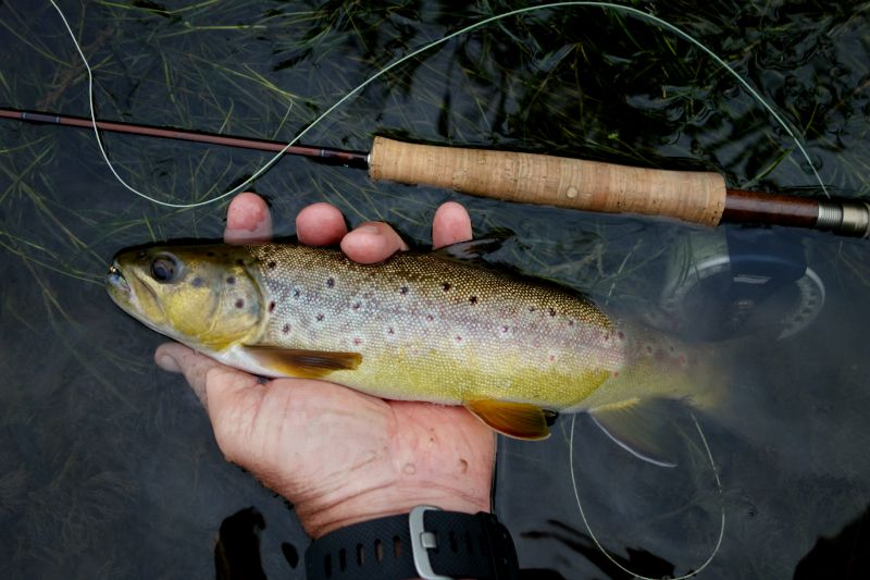 Brown trout on a prince below a hopper. Caught on the West Fork of the Kickapoo. (Photo by Tom Hart)
