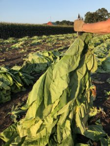 Tobacco is harvested on the Watson family farm. (Photo by Kristen Durst)