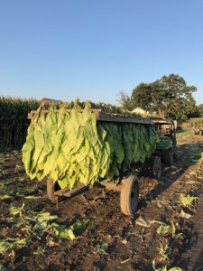 Tobacco is hauled away on the Watson family farm. (Photo by Kristen Durst)