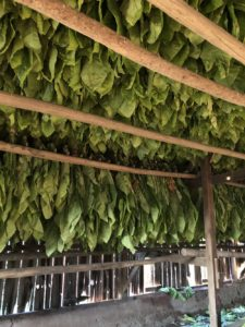Tobacco hangs to dry on the Watson family farm. (Photo by Kristen Durst)