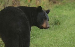 Black Bears In Wausau's Backyard