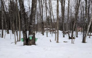 Buckets catching maple tree sap in Perch Lake, Michigan. (Photo by Amanda Gilliland)