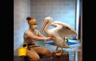 NEW Zoo Keeper Becky Jahns is helping to acclimate the animals to seeing masks and gloves on a regular basis. In April 2020, she helped train a pelican. (Courtesy of NEW Zoo & Adventure Park)